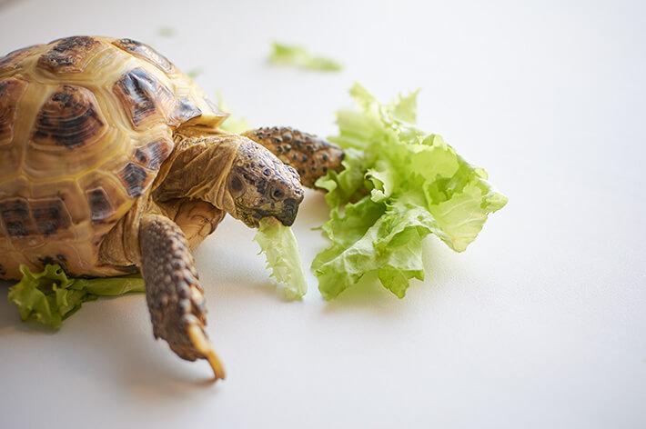 o que a tartaruga come