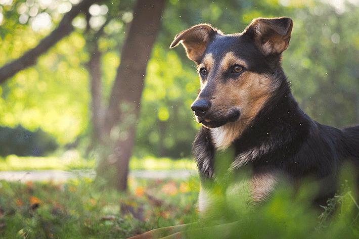 sintomas de um cachorro com calazar