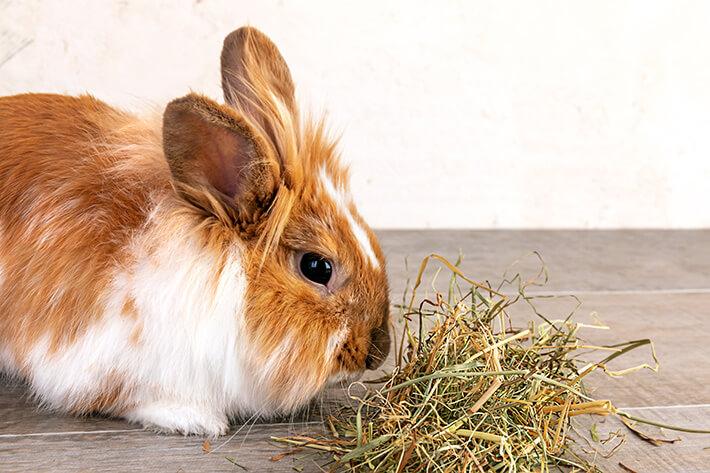 o que é feno principal alimento do coelho na foto