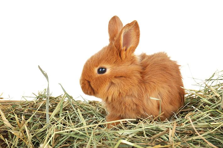 o que é feno: coelho comendo