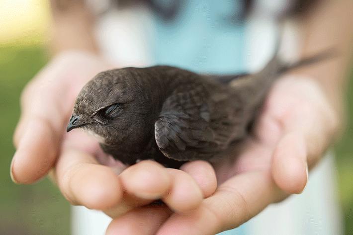 um passarinho resgatado nas mãos de uma pessoa