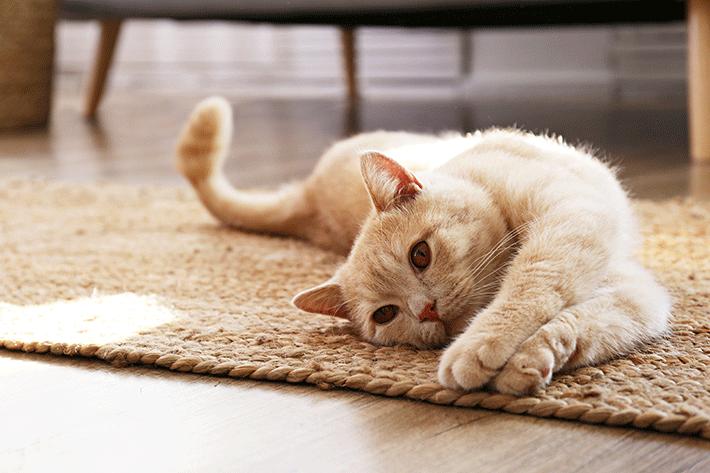 por que os gatos ronronam quando estão deitados