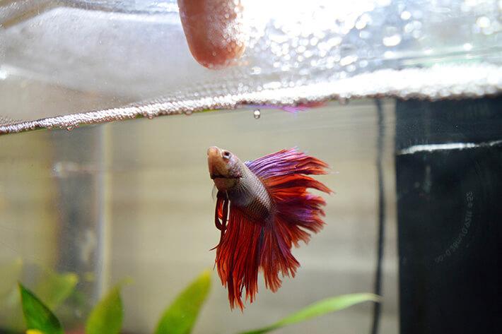 quanto tempo vive um peixe beta no aquário em casa dando ração para peixes