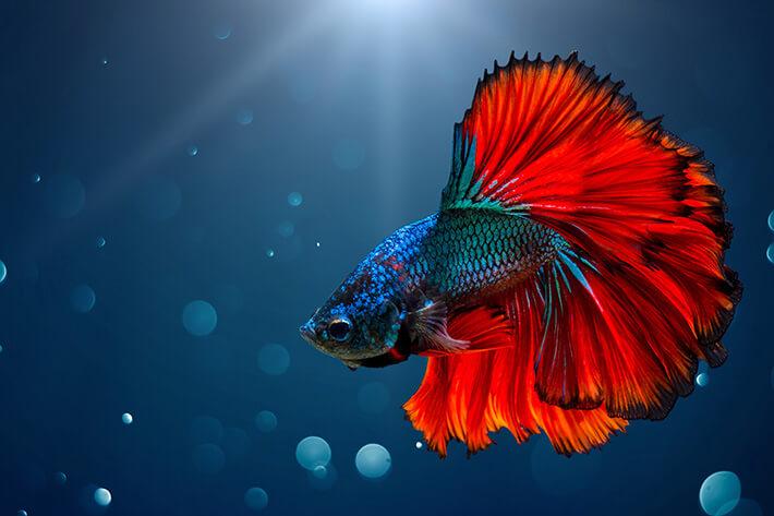 quanto tempo vive um peixe beta colorido
