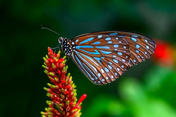 quanto tempo vive uma borboleta na natureza