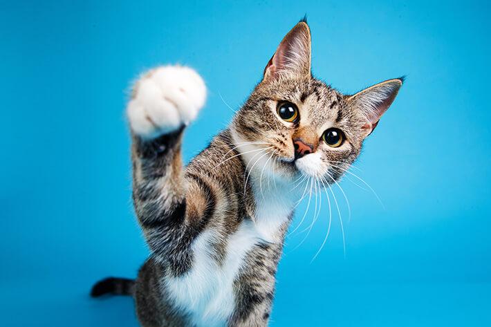 quantos anos vive um gato na foto um pet com a patinha levantada