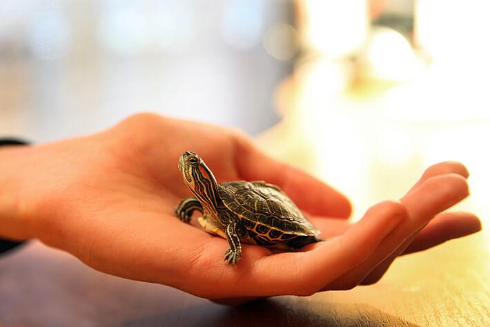 quantos anos vive uma tartaruga pequena
