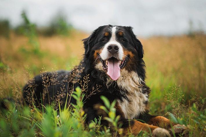 são bernardo que está na lista de maior cachorro do mundo