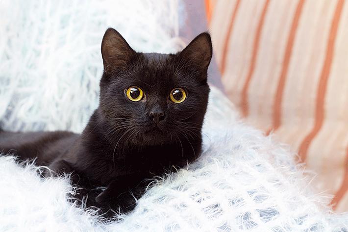 raça de gato de pelo curto na cor preta