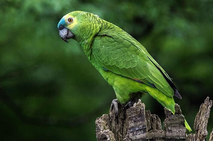 quanto tempo vive um papagaio