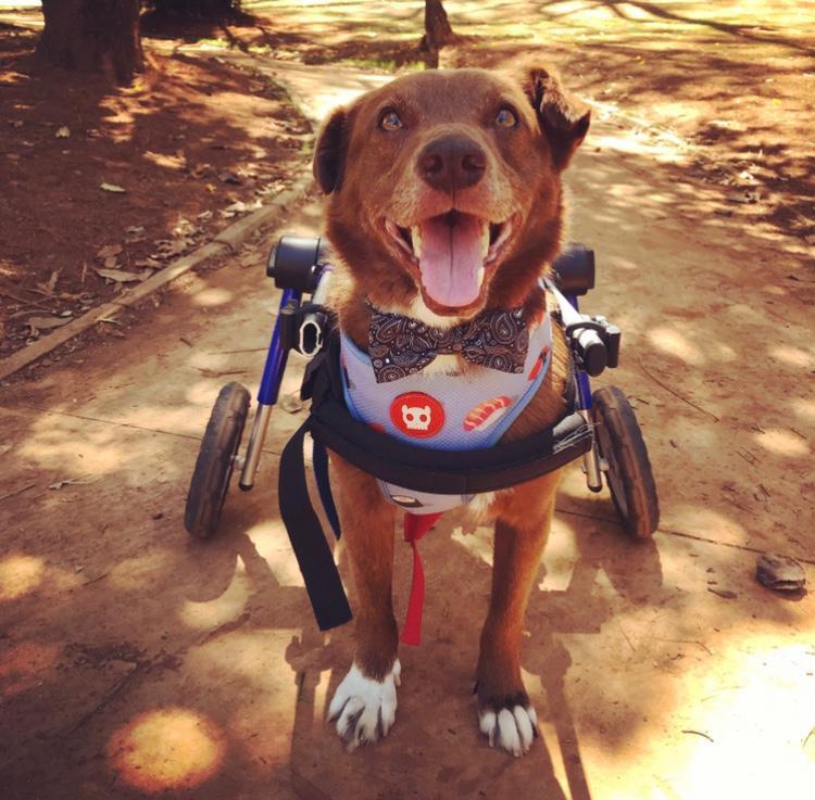 Marrom é um dos cães deficientes ajudados pelo Projeto Cãodeirante