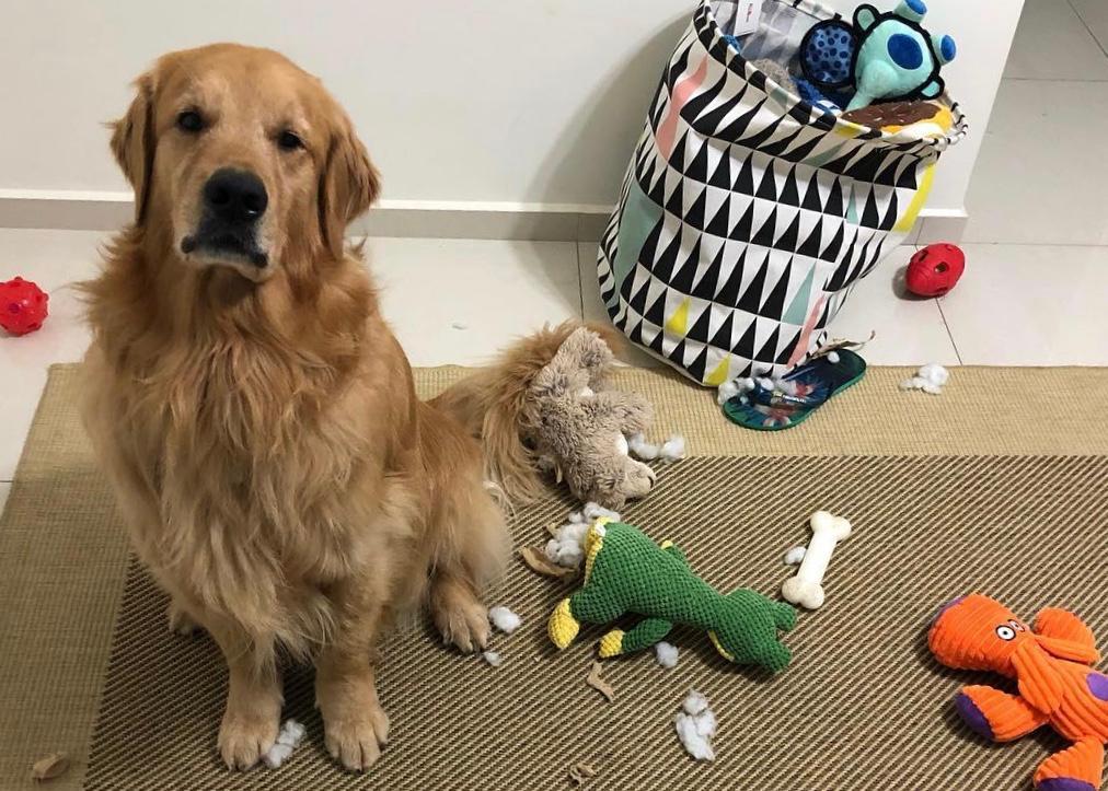 Uddy, cachorro surdo, com seus brinquedos
