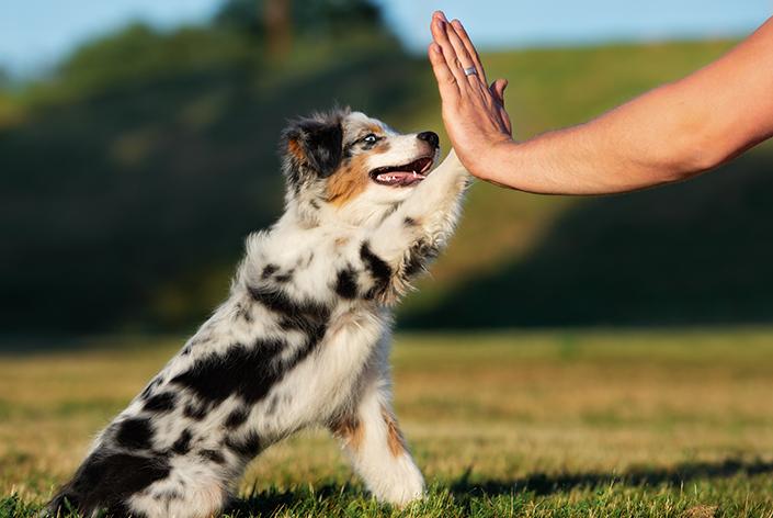 Cachorro com pelo tricolor dá a pata para humano Amigo Cobasi