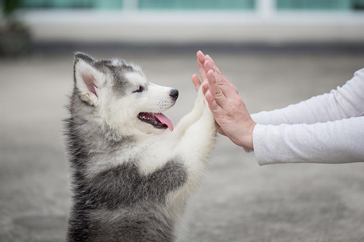 Filhote de Husky pode ser animal de assistência emocional