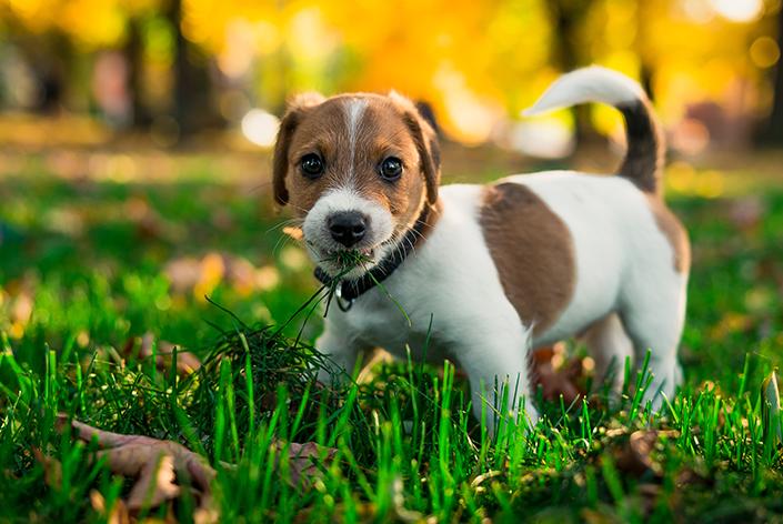 por que o cachorro come grama