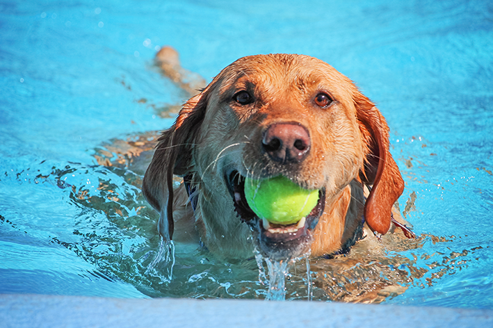 Cachorro sabe nadar e ainda busca a bolinha na piscina