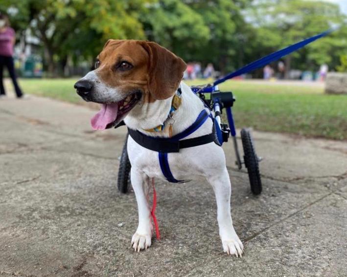Gin na cadeira de rodas para cachorro