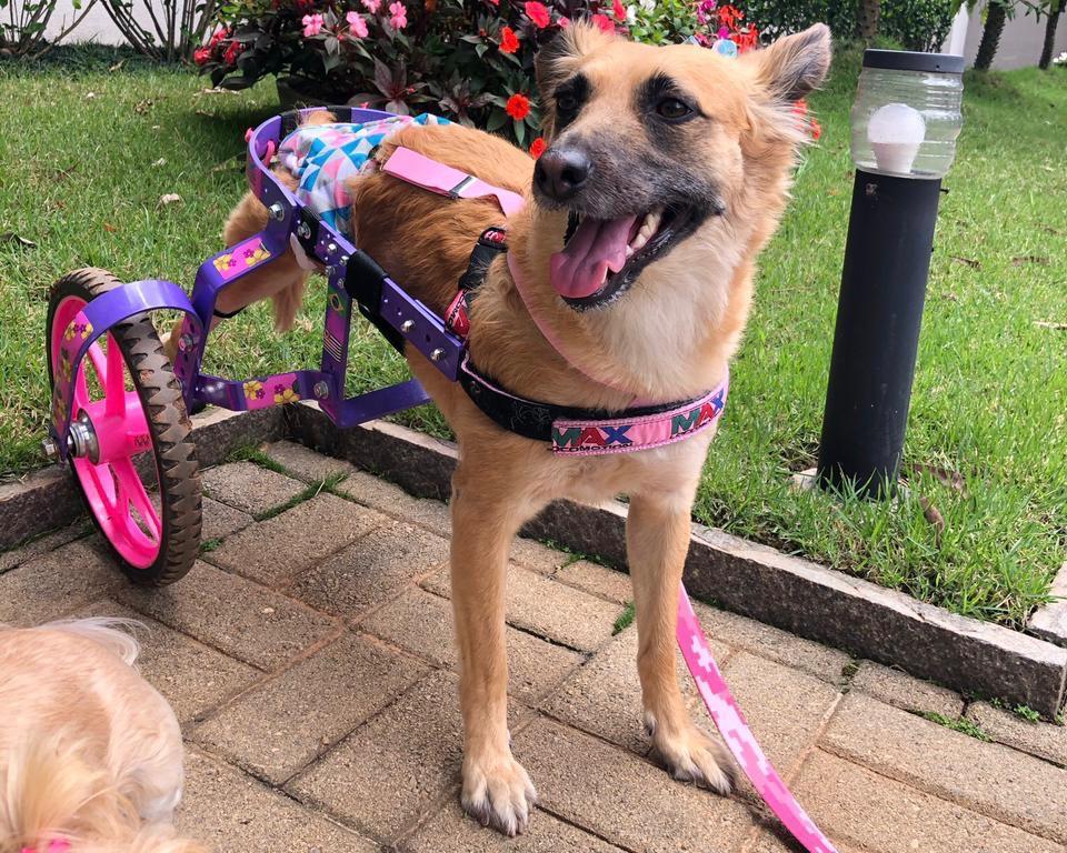 Dafne cadeira de rodas para cachorro