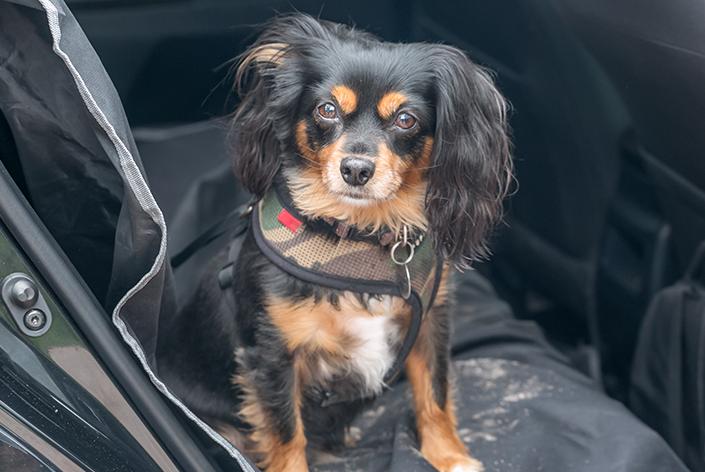 Cachorro sentado na capa de carro suja