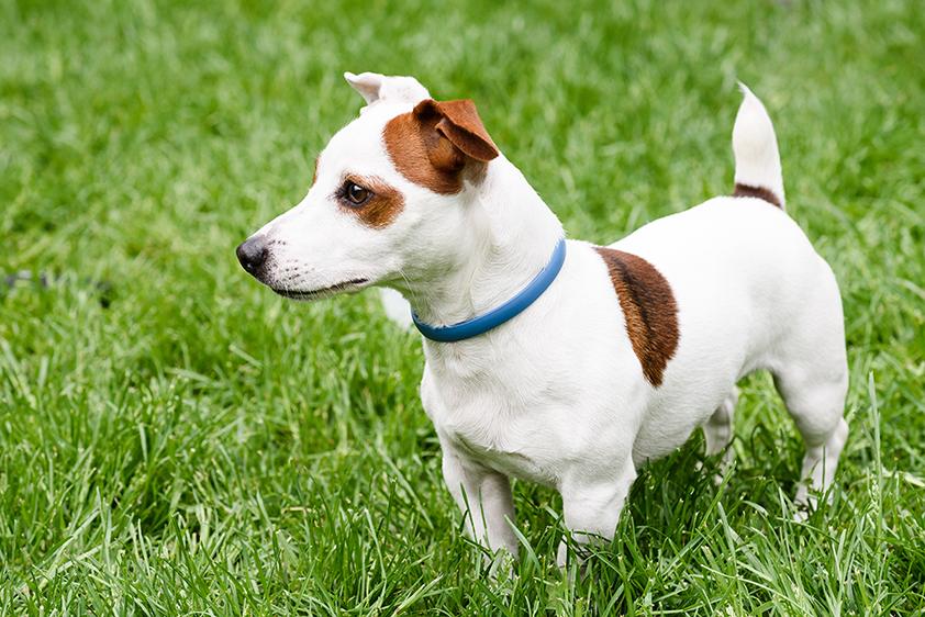 um cachorro com uma coleira antipulgas