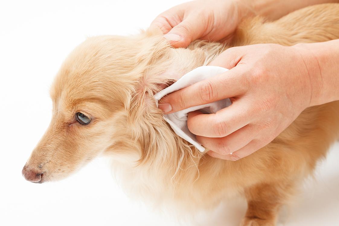 algodão para limpar o ouvido do cachorro