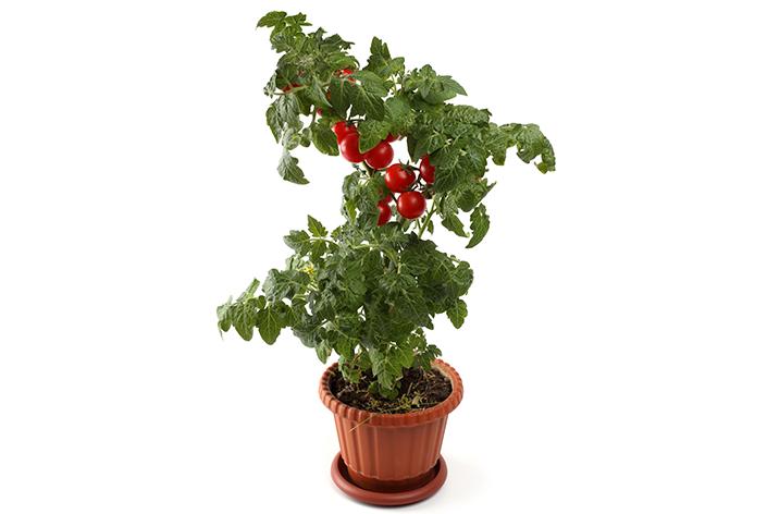 pé depois de plantar tomate cereja