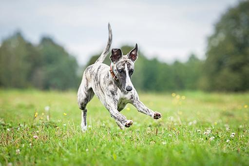 dicas para correr com cachorro
