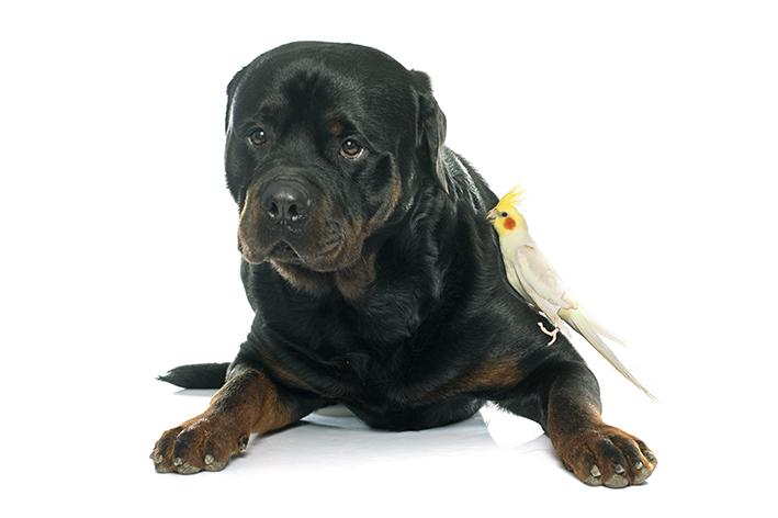 É possível ter cachorro e calopsita?