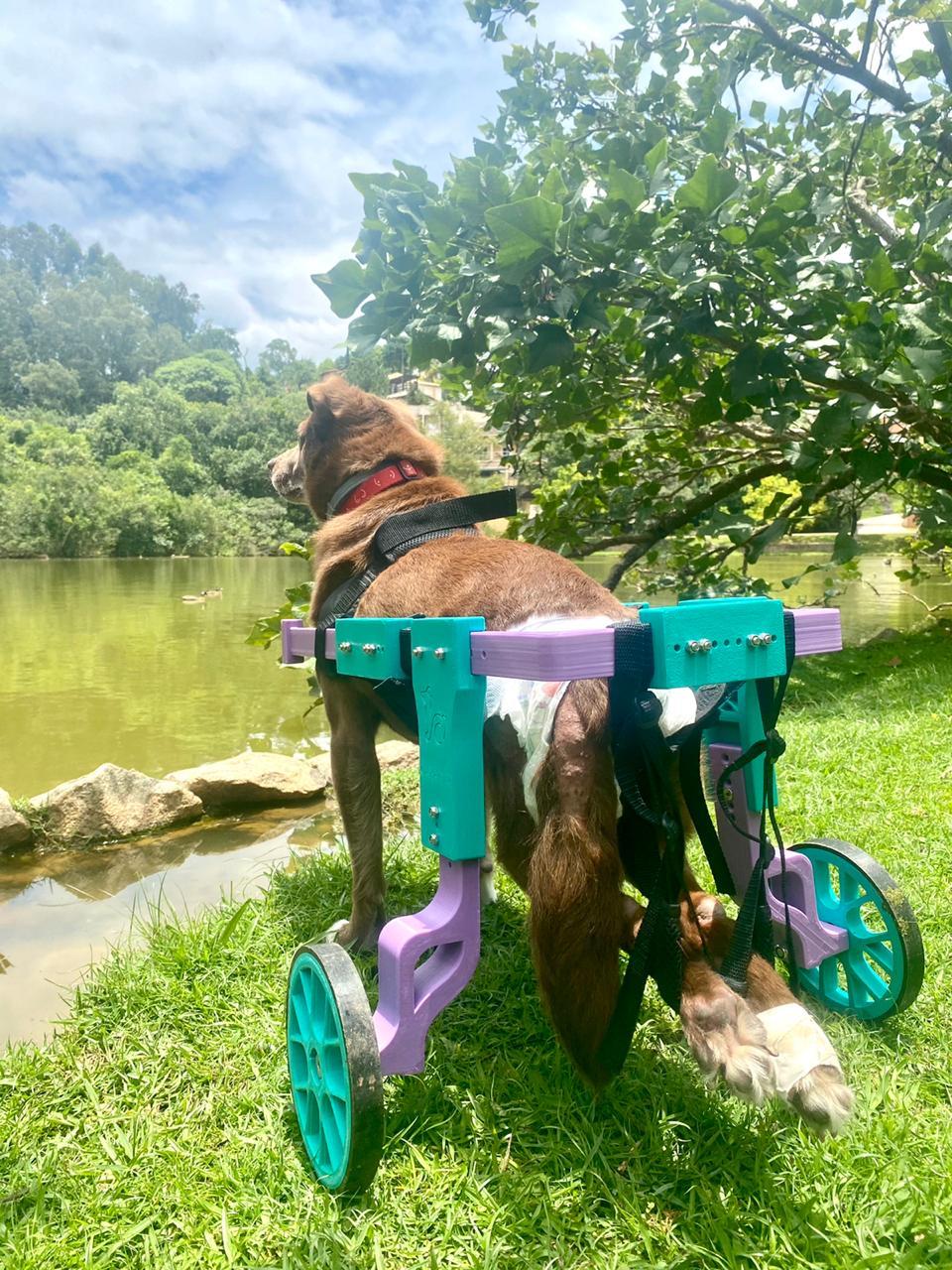 Marrom passeando em sua cadeira de rodas para cachorro