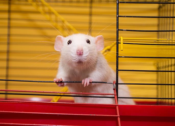 Gaiola para rato Twister
