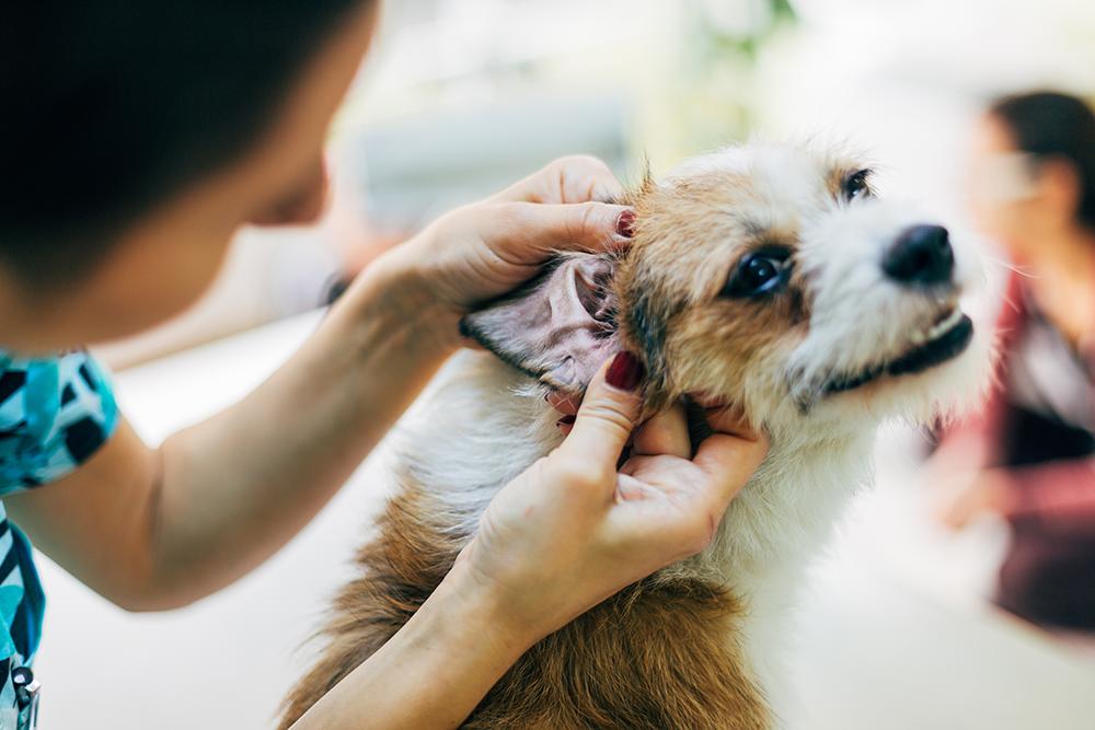 uma mulher limpando o ouvido do cachorro