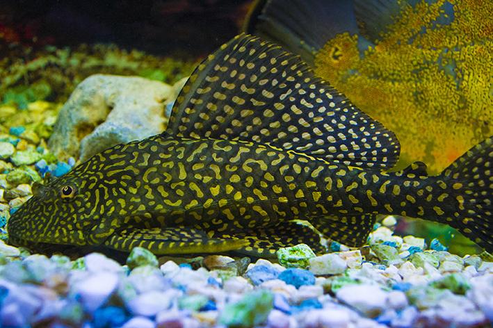Peixe que limpa aquário