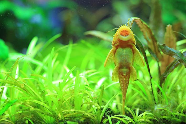 Peixe que limpa o aquário não dispensa o uso de filtro