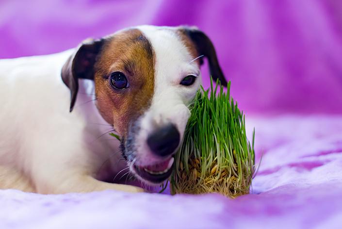 um cachorro come grama deitado no chão