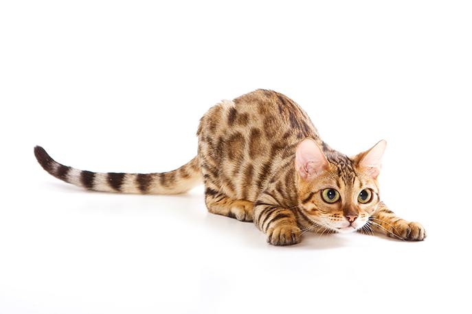 um gato que ronrona da raça bengal