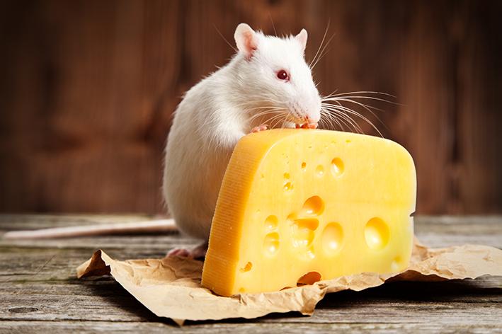 Rato gosta de queijo?