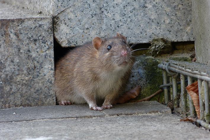Como evitar a presença indesejada de ratos