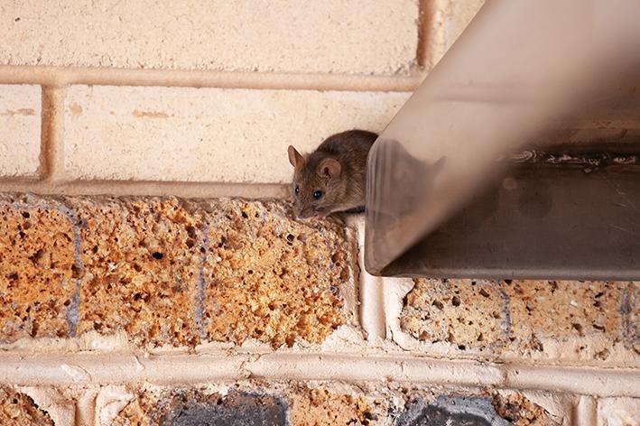 Características das ratazanas