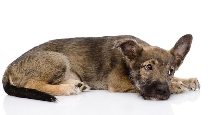 sinais de um cachorro com dor