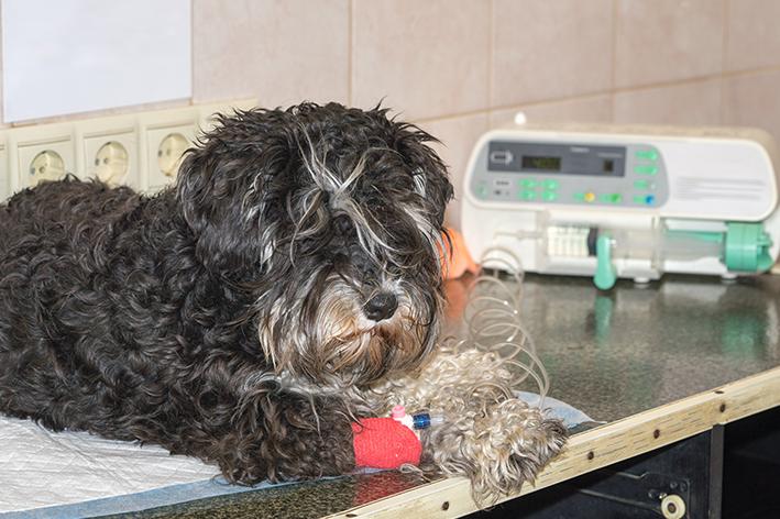 Em que momentos pode ser feita uma transfusão de sangue em cães