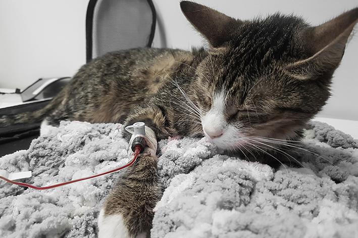 Transfusão de sangue em gatos