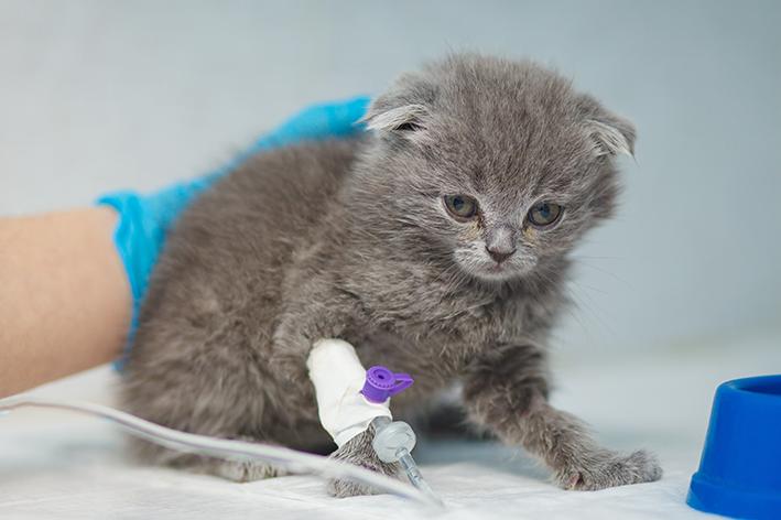 Como funciona a doação de sangue em gatos