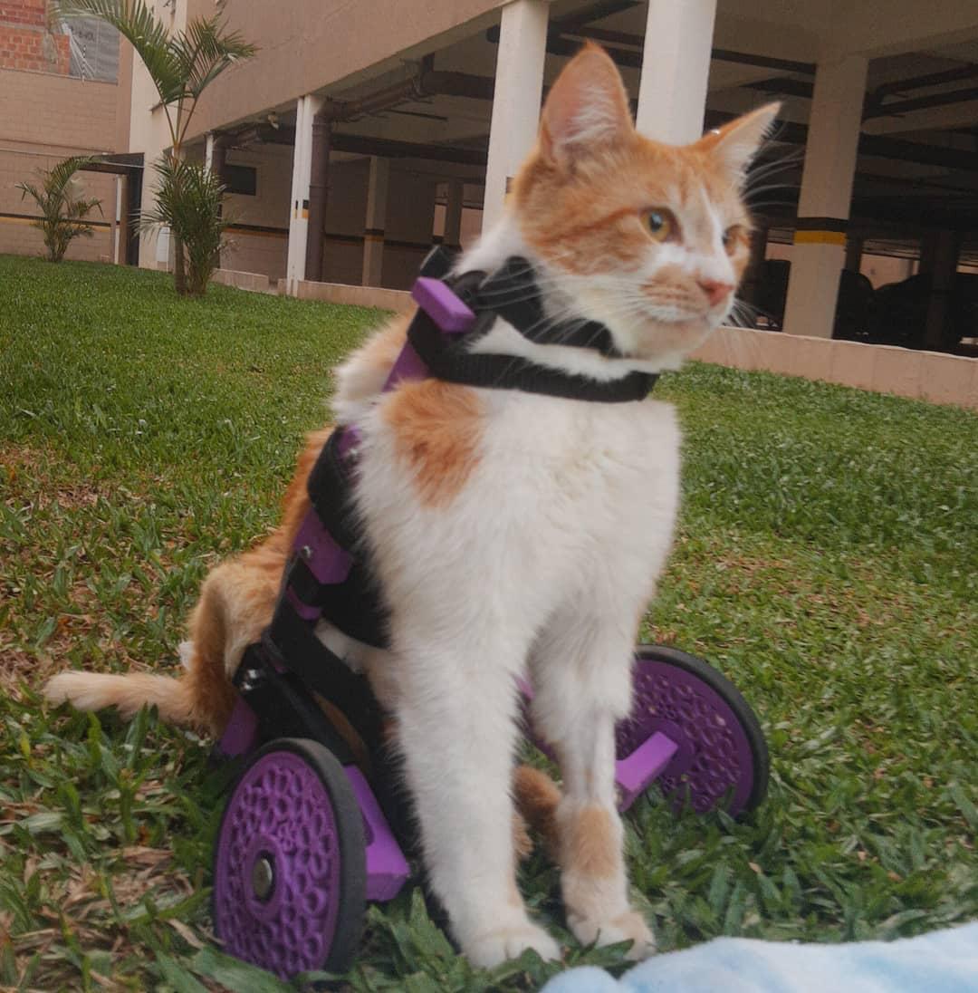 Gato com paralisia na cadeira de rodas