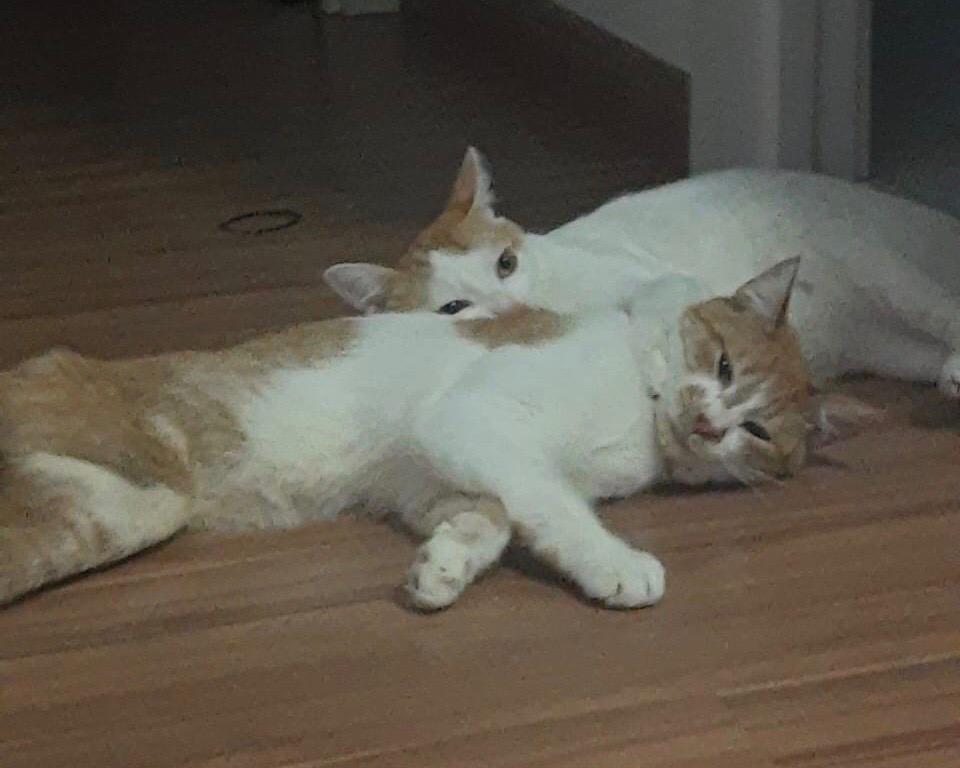 Smith, gato com deficiencia, e seu irmão Apollo