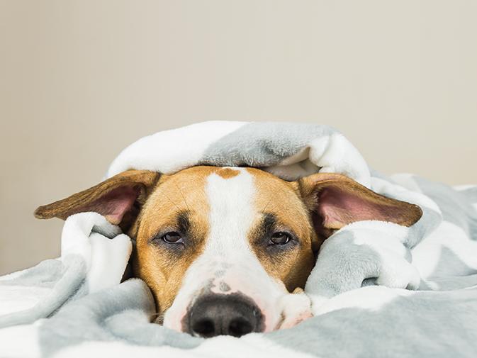 cachorro está com febre deitado