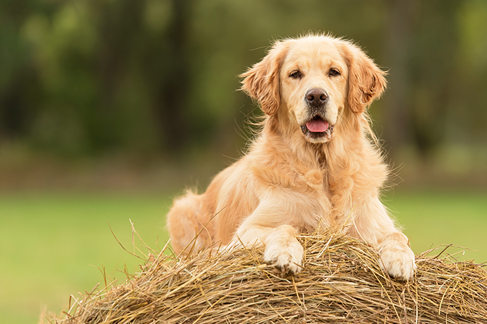 Golden Retriever é um cachorro grande e fofo