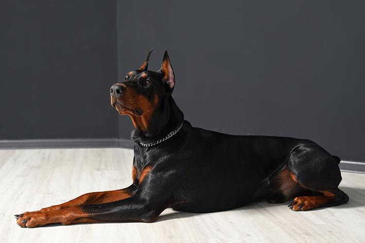Doberman ou Dorbermann é um cachorro grande