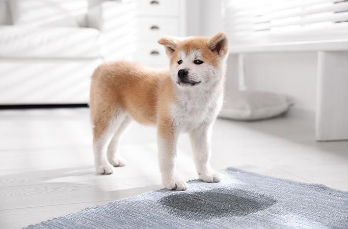 como ensinar cachorro não fazer xixi no lugar errado