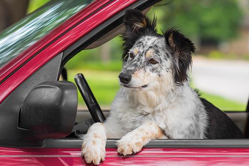 cachorro na janela do automóvel esperando cobasi no seu carro
