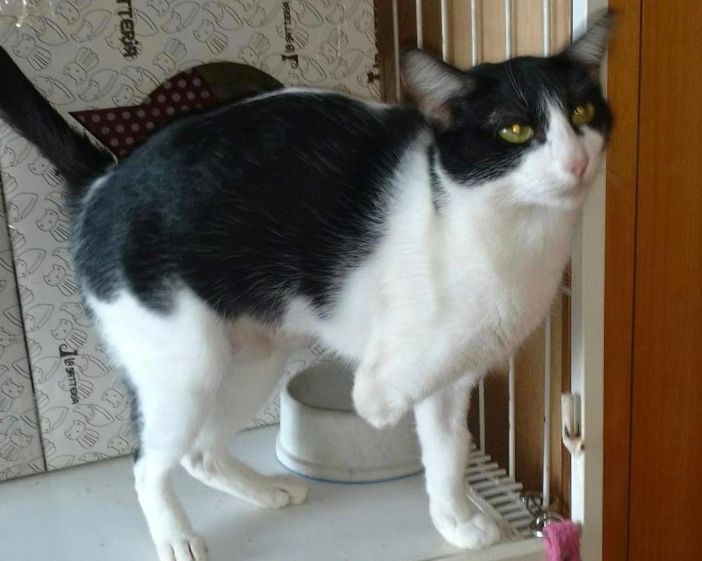 Cotoca é uma gata preta e branca que está para adoção de animais especiais
